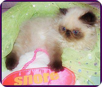 Himalayan Kitten for adoption in Virginia Beach, Virginia - Rolex & Cartier