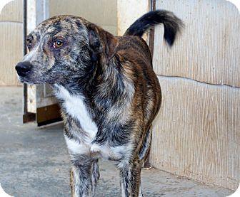 Feist/Australian Cattle Dog Mix Dog for adoption in Greensboro, Georgia - Winslow