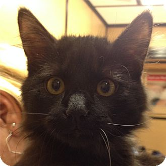 Domestic Longhair Kitten for adoption in Weatherford, Texas - Panther