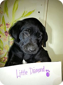 Labrador Retriever Mix Puppy for adoption in Santee, California - Lab litter