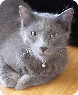 Russian Blue Cat for adoption in Quail Valley, California - Oscar