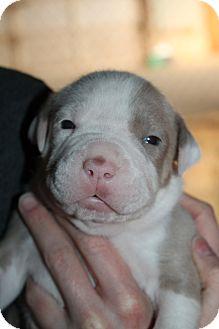American Pit Bull Terrier Mix Puppy for adoption in Spokane, Washington - Chili
