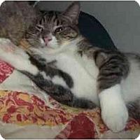 Adopt A Pet :: little man - Little Neck, NY