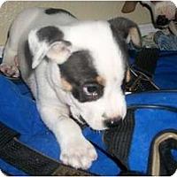 Adopt A Pet :: Rowdy - Arlington, TX
