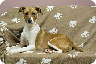 Whippet/Boxer Mix Puppy for adoption in Staunton, Virginia - Ariel