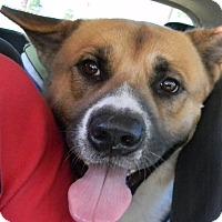 Adopt A Pet :: Hachi - Missouri City, TX