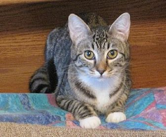 Domestic Shorthair Cat for adoption in Lakewood, California - Dixie