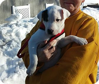 American Staffordshire Terrier Mix Puppy for adoption in Homer, New York - RCA (PETEY)