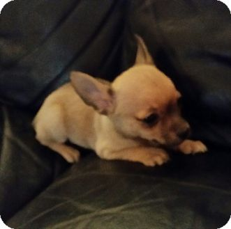 Chihuahua Mix Puppy for adoption in Chandler, Arizona - Dee Dee
