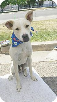 Labrador Retriever/Boxer Mix Dog for adoption in Gridley, California - Marshmello