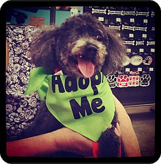 Poodle (Toy or Tea Cup) Mix Dog for adoption in Grand Bay, Alabama - Pierre