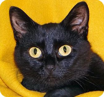 Domestic Shorthair Cat for adoption in Renfrew, Pennsylvania - Delila