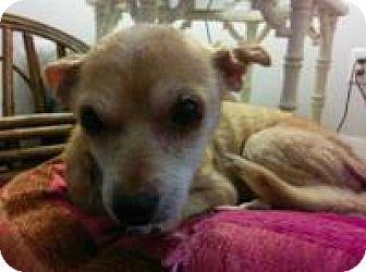 Chihuahua Dog for adoption in New Smyrna Beach, Florida - Roxy