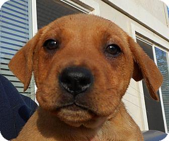 Labrador Retriever/Shar Pei Mix Puppy for adoption in Oakley, California - Baby Kisses