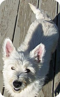 Westie, West Highland White Terrier Mix Dog for adoption in Hastings, Minnesota - Bunnee~ADOPTED