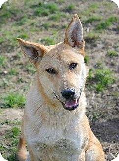 Labrador Retriever/German Shepherd Dog Mix Dog for adoption in Morristown, New Jersey - Lulu