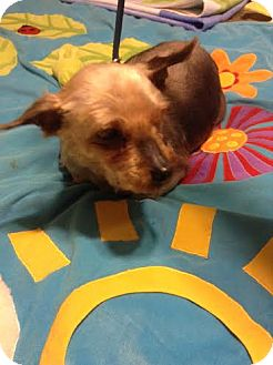 Yorkie, Yorkshire Terrier Dog for adoption in San Fernando Valley, California - Clara