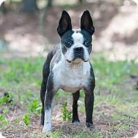 Adopt A Pet :: Bella Boochie - Greensboro, NC