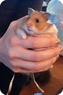Hamster for adoption in Bensalem, Pennsylvania - Cher