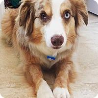 Adopt A Pet :: Banjo - MINI AUSSIE - Mesquite, TX