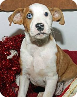 Pit Bull Terrier Mix Puppy for adoption in Erwin, Tennessee - Leo