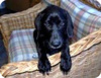 Labrador Retriever Mix Puppy for adoption in Portola, California - Colby
