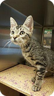 Domestic Shorthair Kitten for adoption in Houston, Texas - Pita