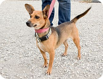 Dachshund/Chihuahua Mix Dog for adoption in Bedminster, New Jersey - Maggie