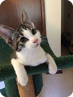 Domestic Shorthair Kitten for adoption in Salem, Ohio - Harlow