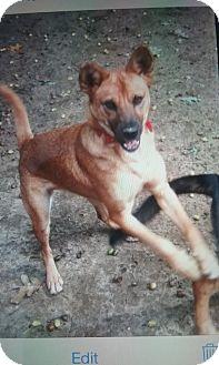 Shiba Inu Mix Dog for adoption in Shelter Island, New York - Bella