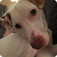 American Pit Bull Terrier/Vizsla Mix Dog for adoption in Louisville, Kentucky - Tony