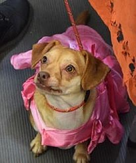 Chihuahua Mix Dog for adoption in Ozone Park, New York - Riley
