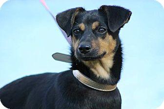 German Shepherd Dog Mix Dog for adoption in SOUTHINGTON, Connecticut - Carlee
