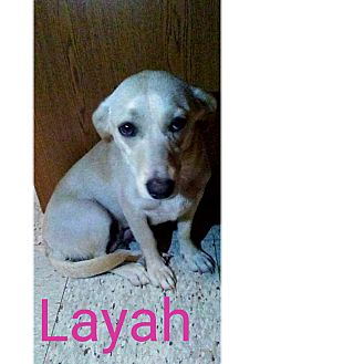 Dachshund/Labrador Retriever Mix Dog for adoption in Chandler, Arizona - Layah