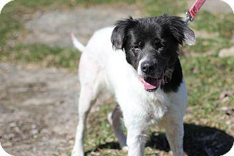 Spaniel (Unknown Type)/Australian Shepherd Mix Dog for adoption in Midland, Michigan - Shopan - Foster Care