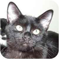 Domestic Shorthair Kitten for adoption in Coleraine, Minnesota - Philbert