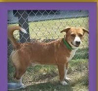 Basset Hound Mix Dog for adoption in Dallas, Texas - Bernie-Burke