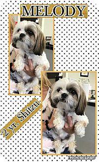 Shih Tzu Dog for adoption in Mesa, Arizona - MELODY