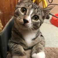 Adopt A Pet :: Seymour - BATH, NY