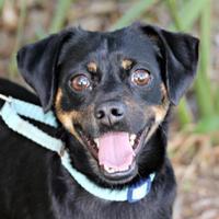 Adopt A Pet :: Chubbs - Loxahatchee, FL