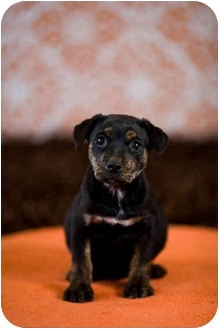 Beagle Mix Puppy for adoption in Portland, Oregon - Dion