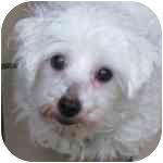 Maltese Mix Dog for adoption in Eatontown, New Jersey - Coconut