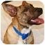 Photo 1 - Australian Cattle Dog/Labrador Retriever Mix Dog for adoption in Gilbert, Arizona - Thumper