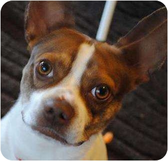 Boston Terrier/Jack Russell Terrier Mix Dog for adoption in North Augusta, South Carolina - Lil MAN