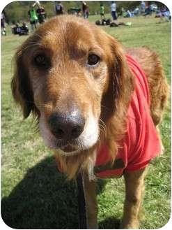 Golden Retriever Dog for adoption in Roanoke, Virginia - Sam