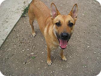 Shepherd (Unknown Type) Mix Dog for adoption in San Antonio, Texas - Daisy