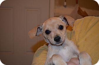 Labrador Retriever Mix Puppy for adoption in Westminster, Colorado - Taz