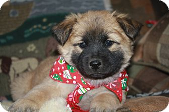 Chow Chow/Border Collie Mix Puppy for adoption in Studio City, California - Sunshine