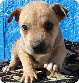Pit Bull Terrier/German Shepherd Dog Mix Puppy for adoption in Santa Ana, California - Zeus