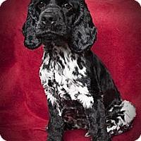 Adopt A Pet :: Cooper - Rancho Mirage, CA